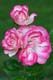 PINK AND WHITE ROSE, ANNAPOLIS ROYAL HISTORIC GARDENS, ANNAPOLIS ROYAL