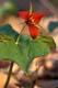 RED TRILLIUM, PORT PERRY
