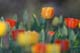 TULIPS IN BLOOM, WHITEHORSE