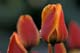 TULIP CLOSE-UP WITH RAINDROPS, WHITEHORSE
