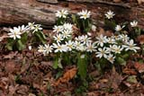 FLO BLO MIS  NS  CRS08C0689DXBLOODROOTGREENS CREEK                               05© CLIFF SANDESON                        ALL RIGHTS RESERVEDATLANTIC;BLOODROOT;EAST_COAST;FLOWERS;GREENS_CREEK;MARITIMES;NOVA;NOVA_SCOTIA;NS_;SCOTIA;SPRING;WILDFLOWERSLONE PINE PHOTO              (306) 683-0889