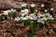 BLOODROOT, GREENS CREEK