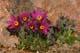 PASQUE FLOWER, NOVA SCOTIA AGRICULTURAL COLLEGE ROCK GARDEN, TRURO