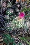 FLO CAC PIN  SK   WS10502D  VTPIN CUSHION CACTUS IN BLOOMDOUGLAS PROVINCIAL PARK    07© WAYNE SHIELS                   ALL RIGHTS RESERVEDCACTI;DOUGLAS_PP;FLOWERS;PIN_CUSHION_CACTUS;PLAINS;PP_;PRAIRIES;RURAL;SASKATCHEWAN;SK_;SUMMER;VTL;WILDFLOWERSLONE PINE PHOTO                 (306) 683-0889