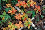 FLO BUN MIS  SK  GMM0001398DBUNCHBERRIES IN AUTUMNCANDLE LAKE                     09© GARFIELD MACGILLIVRAY ALL RIGHTS RESERVEDAUTUMN;BERRIES;BOREAL;BUNCHBERRIES;CANDLE_LAKE;FLOWERS;FOREST;PARKLAND;SASKATCHEWAN;SK_LONE PINE PHOTO              (306) 683-0889