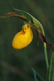 FLO LAD YEL  SK  GMM0001830D  VTYELLOW LADY'S SLIPPERQUILL LAKES                       ..© GARFIELD MACGILLIVRAY  ALL RIGHTS RESERVEDFLOWERS;LADYS_SLIPPERS;PLAINS;PRAIRIES;QUILL_LAKES;SASKATCHEWAN;SK_;SUMMER;VTL;WATER_DROPLETS;WILDFLOWERS;YELLOW_LADYS_SLIPPERLONE PINE PHOTO              (306) 683-0889