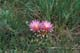 PINCUSHION CACTUS WITH TWO BLOSSOMS, LEADER