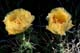 PRICKLY PEAR CACTUS FLOWER, DOUGLAS PROVINCIAL PARK