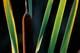 BACKLIT CATTAIL LEAVES, BEAVER CREEEK CONSERVATION AREA, SASKATOON