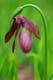 PINK LADY'S SLIPPER, ACACIA VALLEY