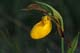 YELLOW LADY'S SLIPPER, QUILL LAKES