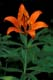 WESTERN RED LILY, HUDSON BAY
