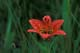 WESTERN RED LILY, QUILL LAKES