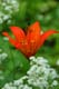 WESTERN RED LILY, PRINCE ALBERT NATIONAL PARK