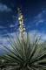 FLOWERING YUCCA PLANT, MEDICINE HAT