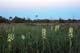 WESTERN PRAIRIE FRINGED ORCHID, TALL-GRASS PRAIRIE PRESERVE