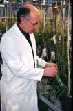 IND BIO MIS  SK  CWN02A030D  NMR  VT  GENETIC SCIENTIST EXAMINING PLANTSSASKATOON                          0131  © CLARENCE W. NORRIS         ALL RIGHTS RESERVEDBIO_TECH;CROPS;GENETICS;INDUSTRY;LABRATORY;MALE;OCCUPATIONS;PEOPLE;PLAINS;PRAIRIES;RESEARCH;SASKATCHEWAN;SASKATOON;SCIENCE;SCIENTISTS;SK_;VTLLONE PINE PHOTO                  (306) 683-0889