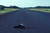 IND ECO IMP SK   WS11602DDEAD SKUNK IN THE MIDDLE OF ROADHUDSON BAY                       ..                   © WAYNE SHIELS                 ALL RIGHTS RESERVEDANIMALS;ECOLOGY;ECOLOGICAL_IMPACT;HIGHWAYS;HUDSON_BAY;PARKLAND;ROADKILL;ROADS;SASKATCHEWAN;SK_;SKUNKS;SUMMER;TRAVELLONE PINE PHOTO              (306) 683-0889