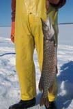 IND FIS MIS  AB  DSR1001244D  VTMAN HOLDING NORTHERN PIKE IN WINTERLAC STE. ANNE                    03..© DUANE S. RADFORD         ALL RIGHTS RESERVEDAB_;ALBERTA;FISH;FISHING;ICE;ICE_FISHING;INDUSTRY;LAC_STE_ANNE;NORTHERN_PIKE;OCCUPATIONS;OUTDOORS;VTL;WINTERLONE PINE PHOTO              (306) 683-0889