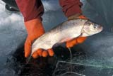 IND FIS MIS  AB  DSR1001245DHANDS HOLDING LAKE WHITEFISH IN WINTERLAC STE. ANNE                    03..© DUANE S. RADFORD         ALL RIGHTS RESERVEDAB_;ALBERTA;FISHING;HANDS;ICE;ICE_FISHING;INDUSTRY;LAC_STE_ANNE;NETS;OCCUPATIONS;OUTDOORS;WHITEFISH;WINTERLONE PINE PHOTO              (306) 683-0889