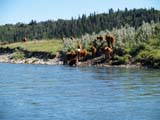 IND RAN MIS  AB  DSR06A4871DXCATTLE ON RIVERBANKBOW RIVER                        ../..© DUANE S. RADFORD         ALL RIGHTS RESERVEDAB_;ALBERTA;ANIMALS;BOW_RIVER;CATTLE;FARMING;FOOTHILLS;LIVESTOCK;PLAINS;PRAIRIES;RANCHING;RIVERS;RIVERBANKS;SCENES;SHORELINE;SUMMER;WATERLONE PINE PHOTO              (306) 683-0889