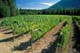 SUMMER VINEYARD, RECLINE RIDGE VINEYARDS AND WINERY, TAPPEN
