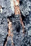 INS BOR RIB  SK   WS10750D  VTRIBBED PINE BORER (RHAGIUM INQUISITOR)PUSKWAKAU RIVER             07/..© WAYNE SHIELS                ALL RIGHTS RESERVEDBORERS;INSECTS;PLAINS;PRAIRIES;PUSKWAKAU_RIVER;RIBBED_PINE_BORER;SASKATCHEWAN;SK_;SUMMER;VTLLONE PINE PHOTO              (306) 683-0889