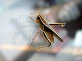 INS GRA MIS  SK  CWN02D1438D  NMR  GRASSHOPPER ON WINDOW GLASSSASKATOON                           0721© CLARENCE W NORRIS           ALL RIGHTS RESERVEDGRASSHOPPERS;INSECTS;PLAINS;PRAIRIES;SASKATCHEWAN;SASKATOON;SK_LONE PINE PHOTO                  (306) 683-0889
