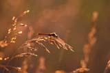INS DRA MIS  SK   WS21841D DRAGONFLY ON GRASSBRADWELL                         08/..© WAYNE SHIELS                ALL RIGHTS RESERVEDBRADWELL;DRAGONFLIES;INSECTS;PLAINS;PRAIRIES;SASKATCHEWAN;SK_;SUMMER LONE PINE PHOTO              (306) 683-0889