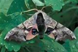 INS MOT CER  AB  REH1000628DCERISY'S SPHINX MOTH (SMERINTHUS CERISYI)CYPRESS HILLS                   07/..© ROYCE HOPKINS             ALL RIGHTS RESERVEDAB_;ALBERTA;CYPRESS_HILLS;CERISYS_SPHINX_MOTH;INSECTS;MOTHS;PLAINS;PLATEAU;PRAIRIES;SUMMERLONE PINE PHOTO              (306) 683-0889