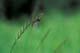 MAYFLY ON GRASS, WINNIPEG