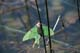LUNA MOTH ON REEDS, RIDING MOUNTAIN NATIONAL PARK