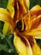 BUMBLE BEE IN DAYLILY, EDMONTON