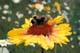 BUMBLEBEE ON GAILLARDIA, YOHO NATIONAL PARK