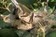 FOREST TENT CATERPILLRAS, HARRIS