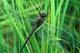GREEN DARNER ON GRASS, MANITOBA