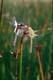 TWO DEWEY DRAGONFLIES ON CATTAIL, EDMONTON