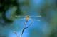 DRAGONFLY ON PERCH, PIKE LAKE PROVINCIAL PARK