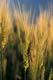 GRASSHOPPER ON BARLEY, LUCKY LAKE