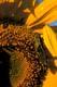 GRASSHOPPER ON SUNOLA PLANT, NEUHORST