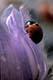 NINE-SPOTTED LADYBUG BEETLE ON CROCUS, ALBERTA