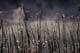 DEW-COVERED SPIDERWEBS IN REEDS, WAPITI REGIONAL PARK