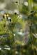 SPIDERWEBS IN WEEDS, CODETTE LAKE