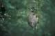WASP NEST HANGING ON BRANCH, GLENSIDE