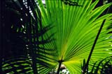 PHO PAT MIS JM  BMM1001179DPATTERNS ON FAN PALMJAMAICA                                 ....             © BEV MCMULLEN                  ALL RIGHTS RESERVEDJAMAICA;LEAVES;PALM;PATTERNS;PHOTOGRAPHY;TREES;TROPICSLONE PINE PHOTO                 (306 683-0889