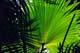 PATTERNS ON FAN PALM, JAMAICA
