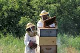 OCC BEE KEE  MB     1807310D  MR#307MAN AND YOUNG DAUGHTER TENDING BEEHIVESLA RIVIERE                           07                   © CLARENCE W. NORRIS      ALL RIGHTS RESERVEDBEEKEEPING;BEES;CHILDREN;CROPS;FARMING;FOOD;GIRL;HONEY;LA_RIVIERE;MALE;MANITOBA;MB_;MR_;OCCUPATIONS;PEOPLE;PLAINS;PRAIRIES;RURAL;SAFETY;SUMMER;TEAMWORKLONE PINE PHOTO              (306) 683-0889