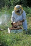 OCC BEE KEE  MB     1807416D  VT  MR#307MAN WORKING ON BEEHIVE  LA RIVIERE                           07                   © CLARENCE W. NORRIS      ALL RIGHTS RESERVEDBEEKEEPING;BEES;CROPS;FARMING;FOOD;HONEY;INSECTS;LA_RIVIERE;MALE;MANITOBA;MB_;MR_;OCCUPATIONS;PEOPLE;PLAINS;PRAIRIES;RURAL;SAFETY;SUMMER;VTLLONE PINE PHOTO              (306) 683-0889