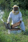 OCC BEE KEE  MB     1807419D  VT  MR#307MAN WORKING ON BEEHIVE  LA RIVIERE                           07                   © CLARENCE W. NORRIS      ALL RIGHTS RESERVEDBEEKEEPING;BEES;CROPS;FARMING;FOOD;HONEY;INSECTS;LA_RIVIERE;MALE;MANITOBA;MB_;MR_;OCCUPATIONS;PEOPLE;PLAINS;PRAIRIES;RURAL;SAFETY;SUMMER;VTLLONE PINE PHOTO              (306) 683-0889