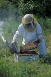 OCC BEE KEE  MB     1807422D  VT  MR#307MAN WORKING ON BEEHIVE  LA RIVIERE                           07                   © CLARENCE W. NORRIS      ALL RIGHTS RESERVEDBEEKEEPING;BEES;CROPS;FARMING;HONEY;INSECTS;LA_RIVIERE;MALE;MANITOBA;MB_;MR_;OCCUPATIONS;PEOPLE;PLAINS;PRAIRIES;RURAL;SAFETY;SUMMER;VTLLONE PINE PHOTO              (306) 683-0889